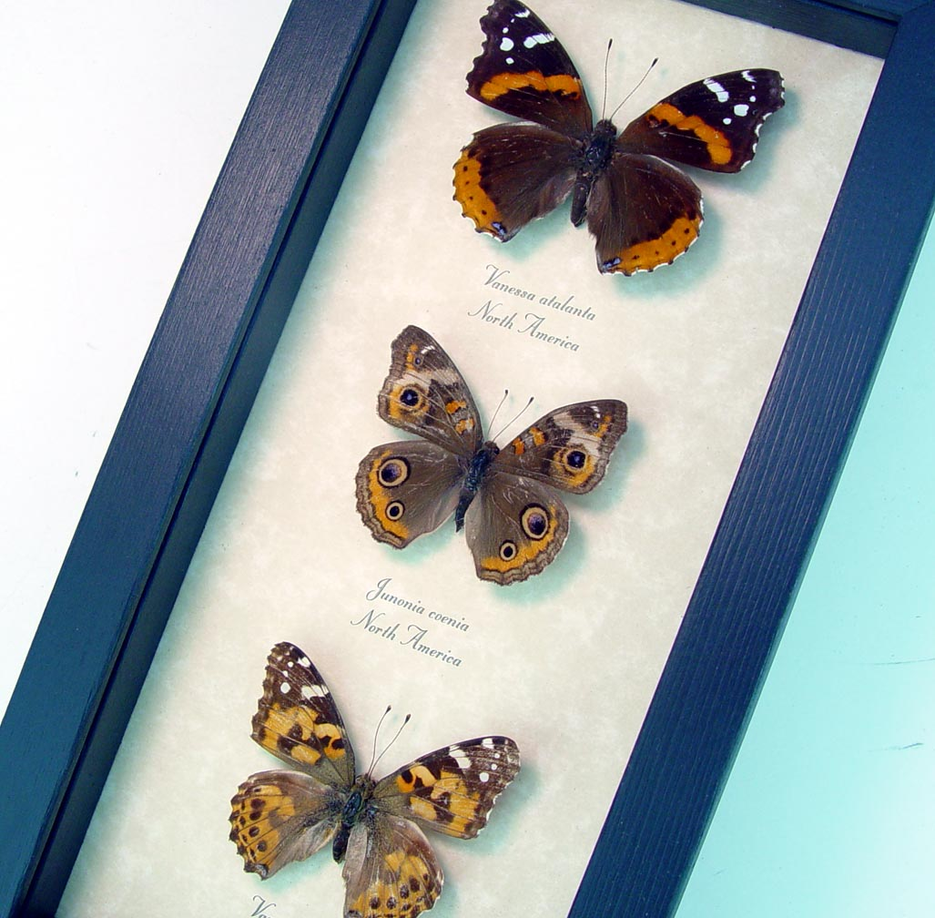 Brush-footed Butterfly Collection North American Butterflies