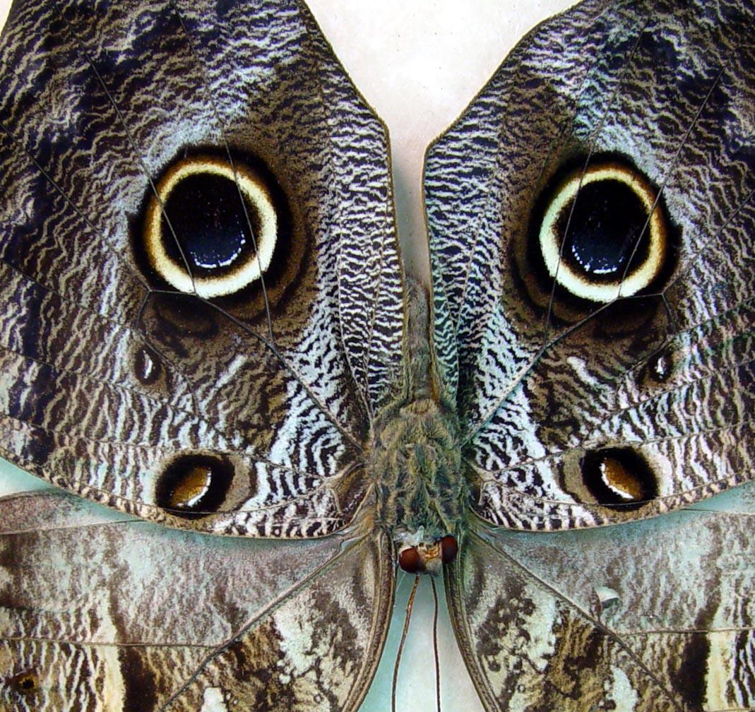 Framed Preserved Owl Butterfly Caligo placidianus