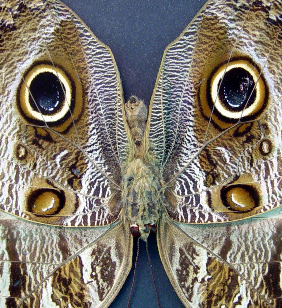 Caligo placidianus Framed Preserved Owl Butterfly Moonlight Display