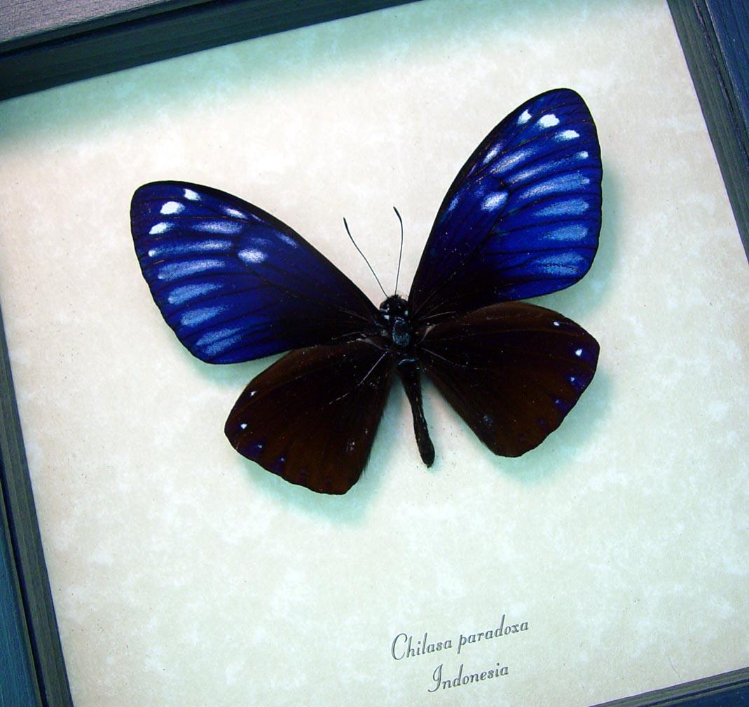Chilasa paradoxa Purple Framed Butterfly Great Blue Mime ooak