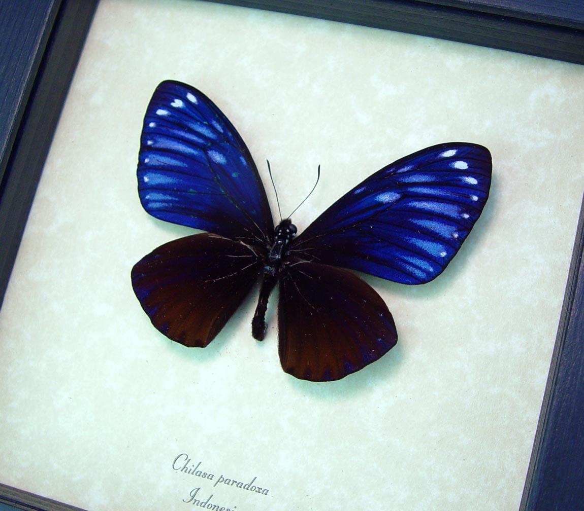 Chilasa paradoxa Purple Framed Butterfly Display Great Blue Mime ooak
