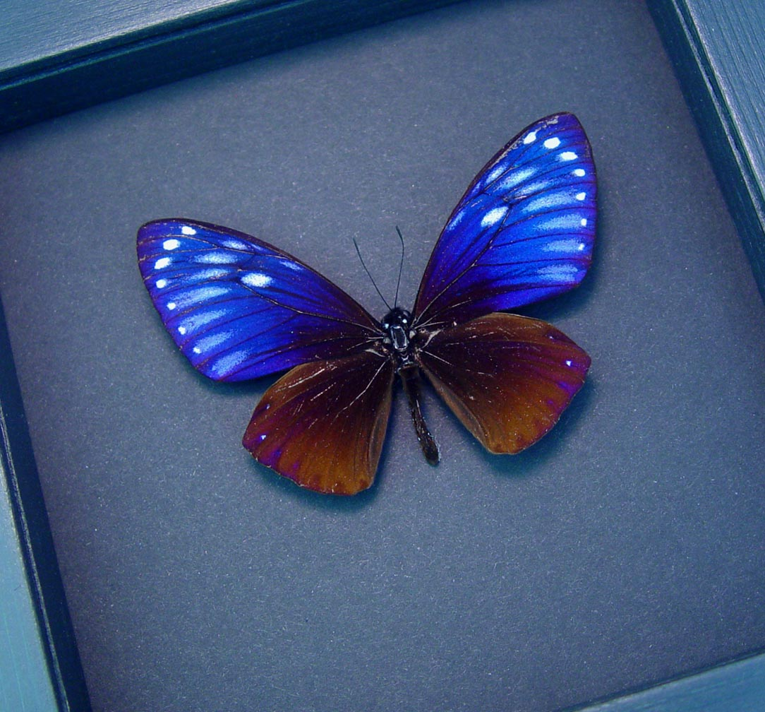 Chilasa paradoxa Purple Framed Butterfly Moonlight Display Great Blue Mime