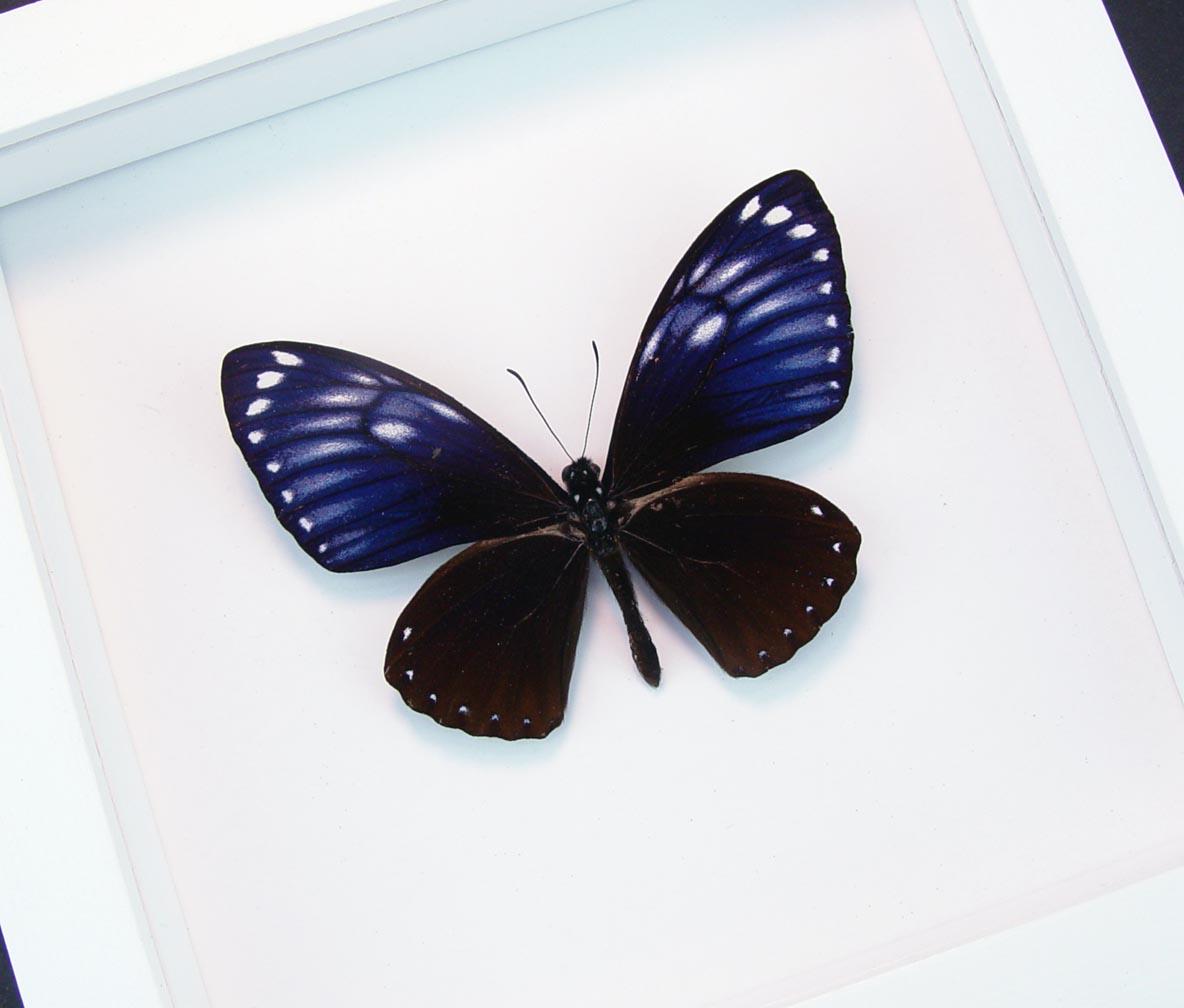 Chilasa paradoxa Purple Framed Butterfly