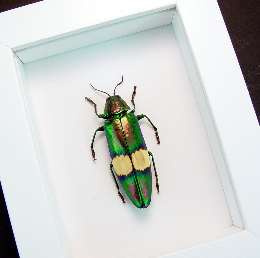 Chrysochroa saundersii Metallic Jewel Beetle Vibrant White Display