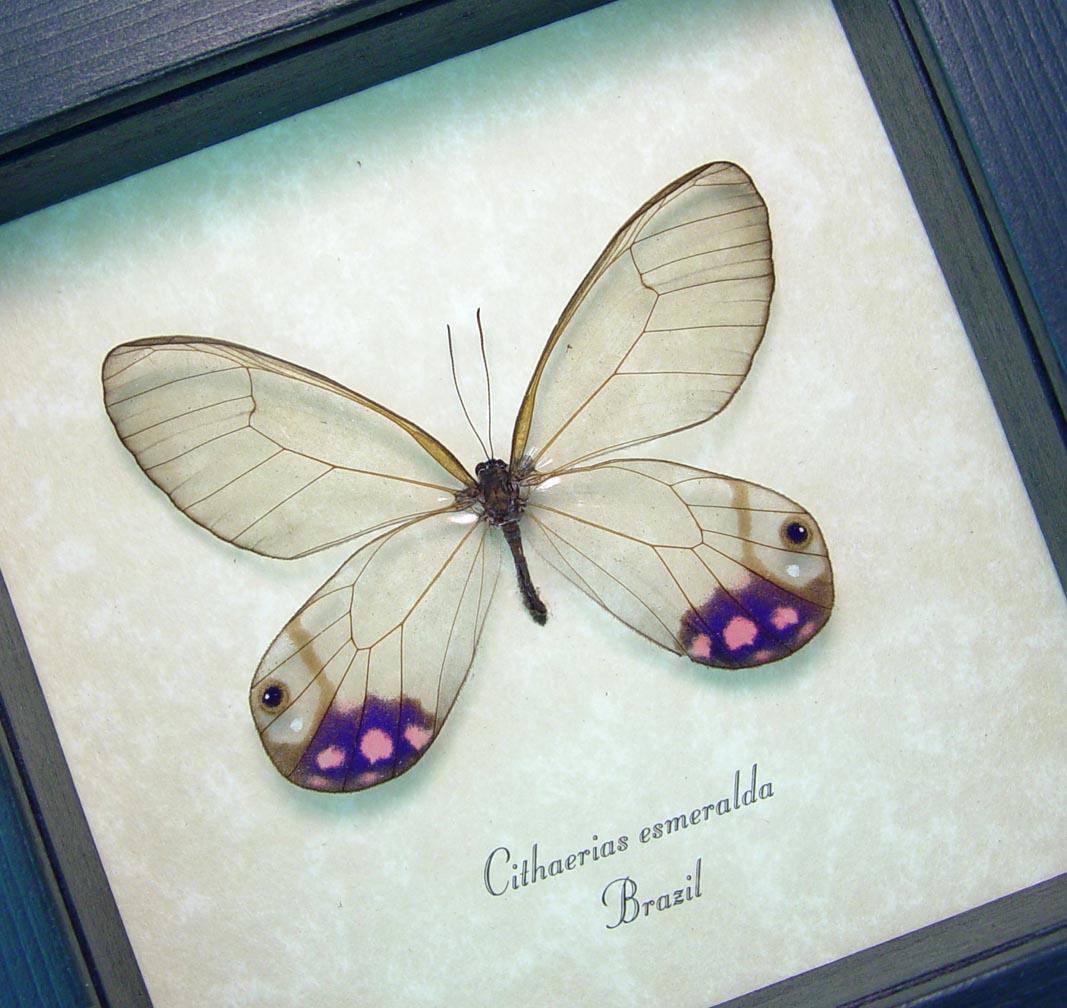 Cithaerias esmeralda Purple Glasswing Butterfly