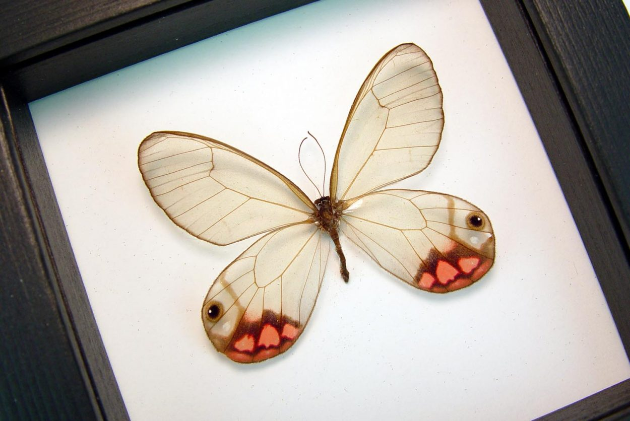 Cithaerias pyropina Pink Glasswing Butterfly Classic Black Display OOAK