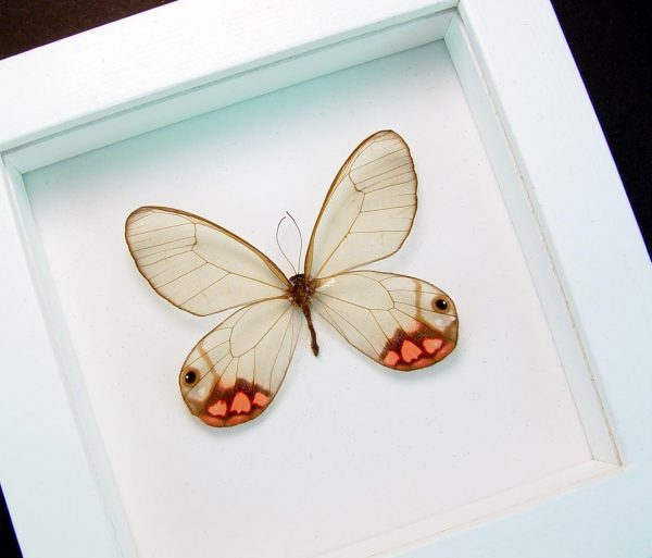 Cithaerias pyropina Pink Glasswing Butterfly Vibrant White Display