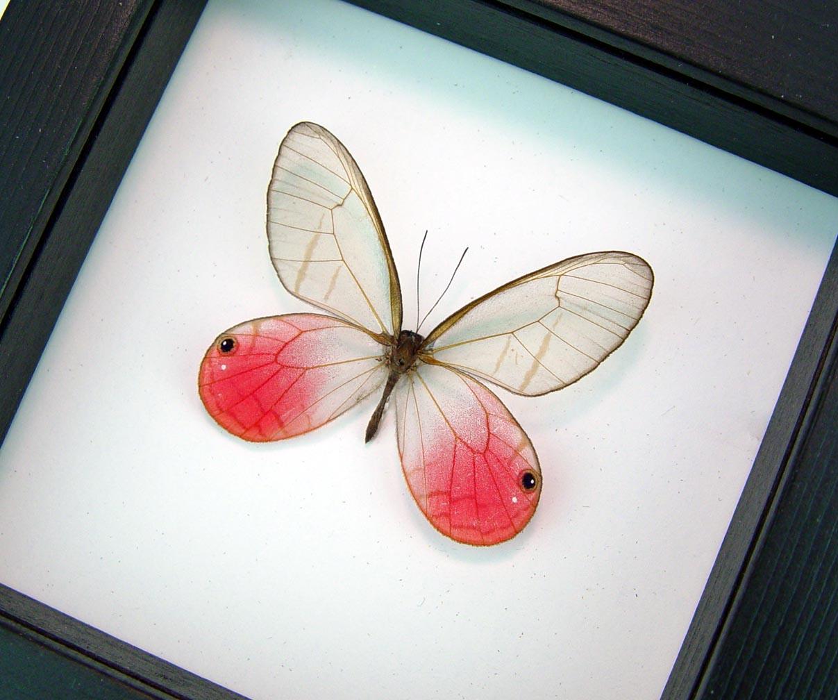 Cithaerias merolina Pink Glasswing Butterfly Blushing Phantom Classic Black Display ooak