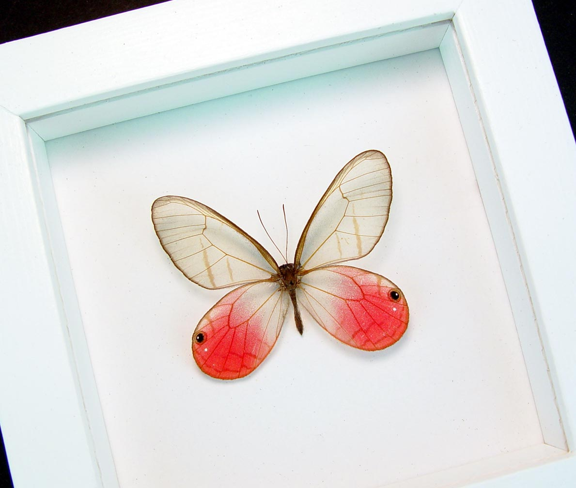Cithaerias merolina Pink Glasswing Butterfly Blushing Phantom Vibrant White Display