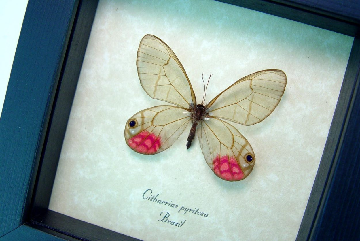 Cithaerias pyritosa Rare Pink Glasswing Butterfly OOAK