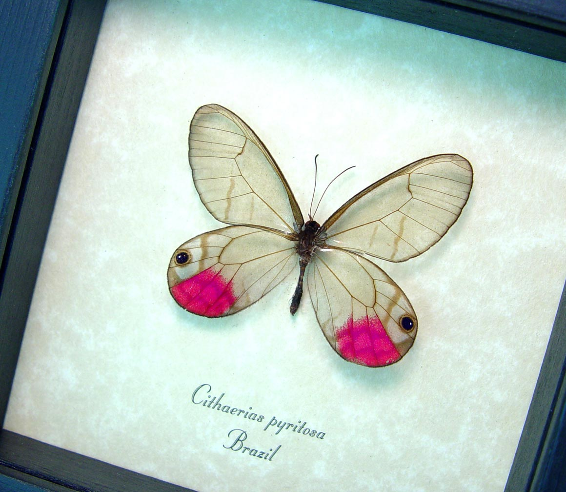 Cithaerias pyritosa Pink Glasswing Framed Butterfly