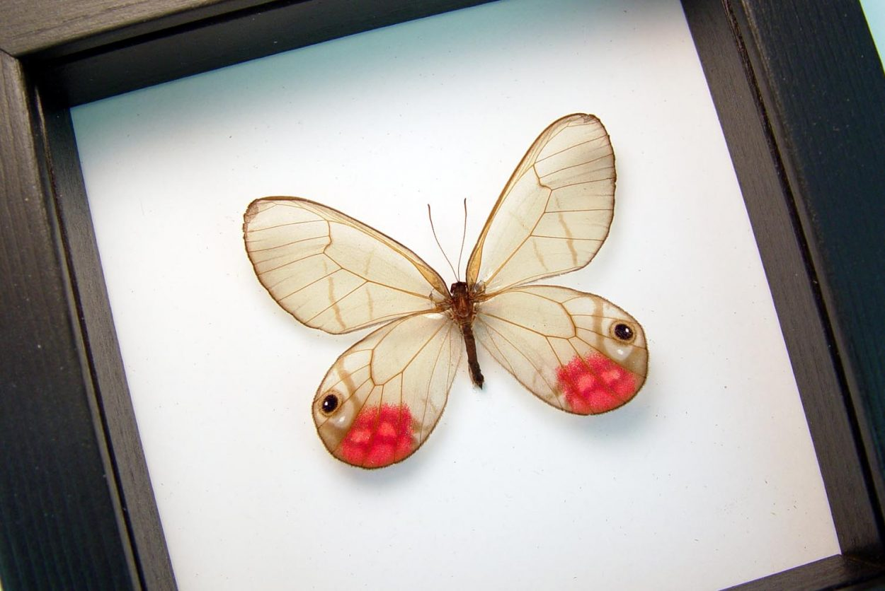 Cithaerias pyritosa Rare Pink Glasswing Butterfly Classic Black Display OOAK