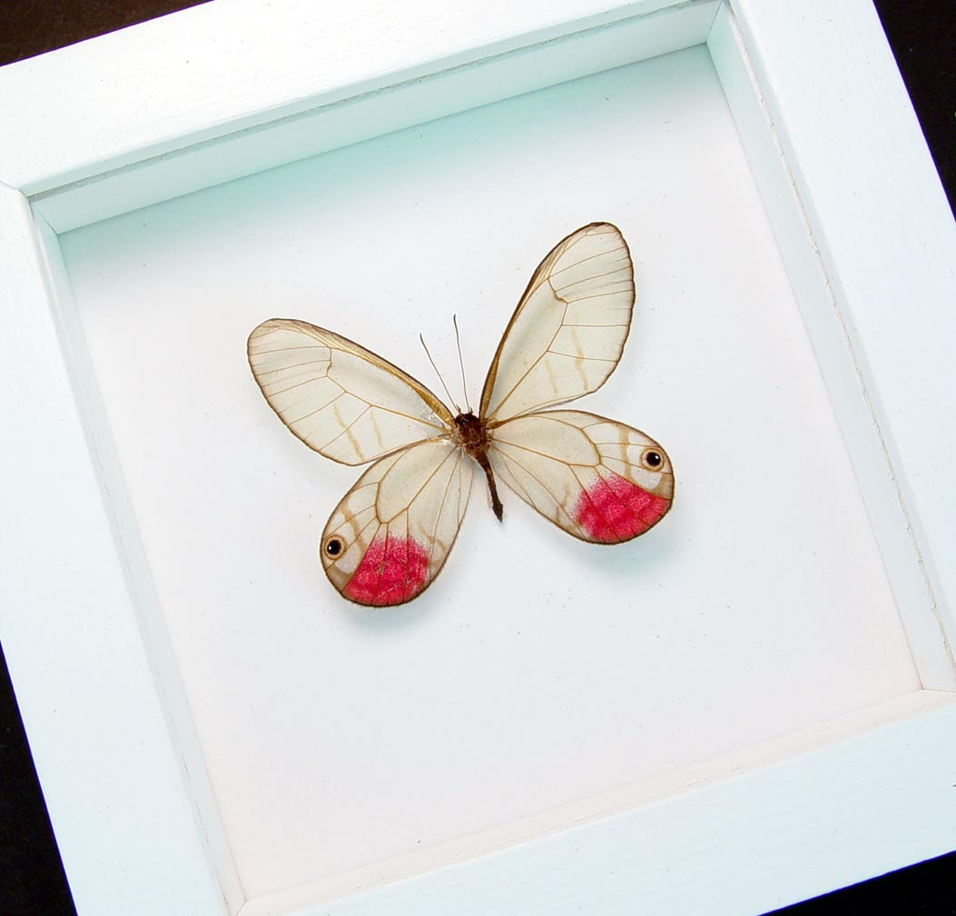 Cithaerias pyritosa Pink Glasswing Framed Butterfly Vibrant White Display