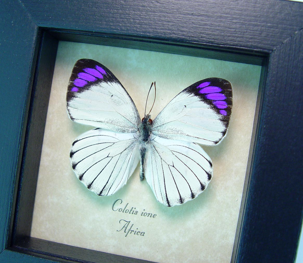 Colotis ione Violet Tip Purple African Butterfly ooak