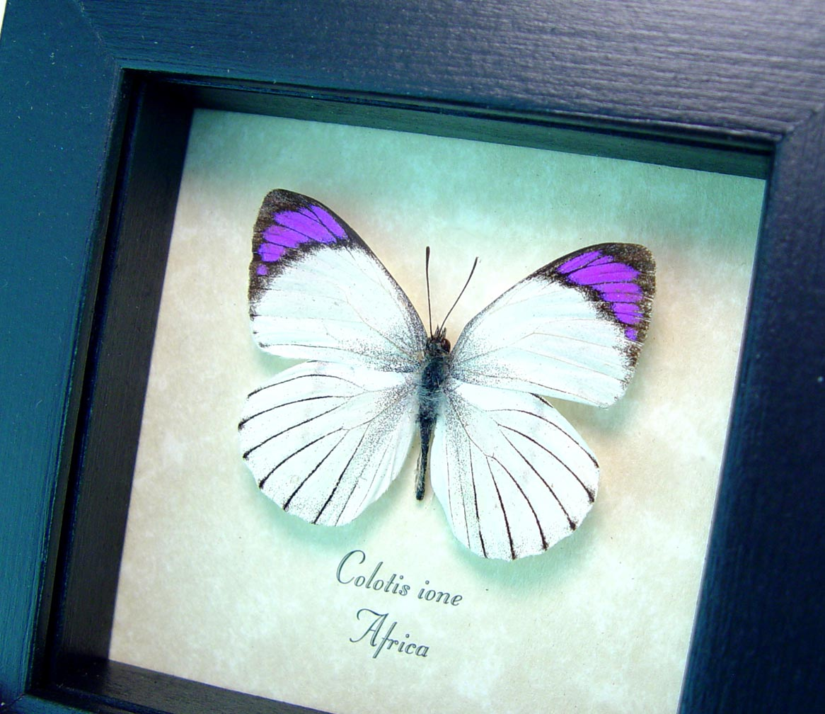 Colotis ione Violet Tip Purple African Framed Butterfly ooak