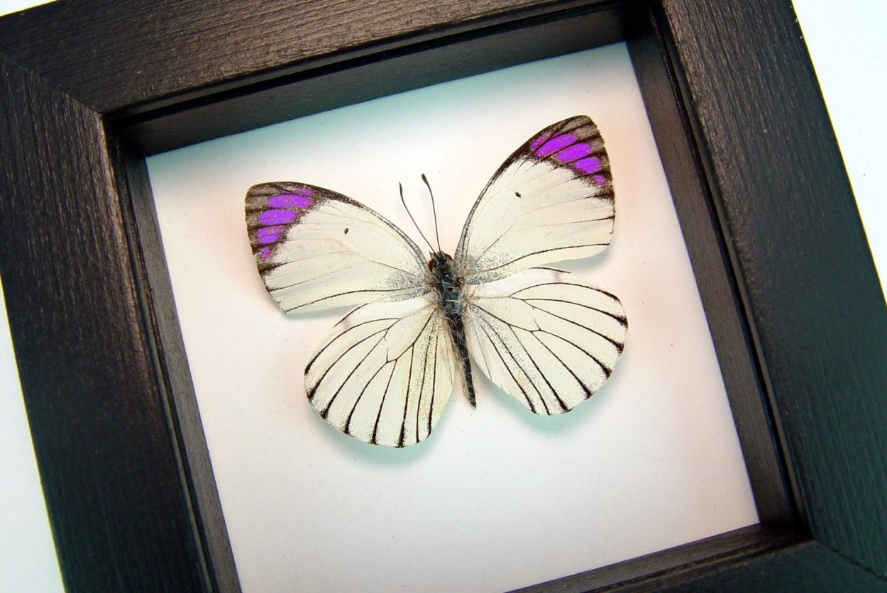 Colotis ione Violet Tip Purple Butterfly Classic Black Display ooak