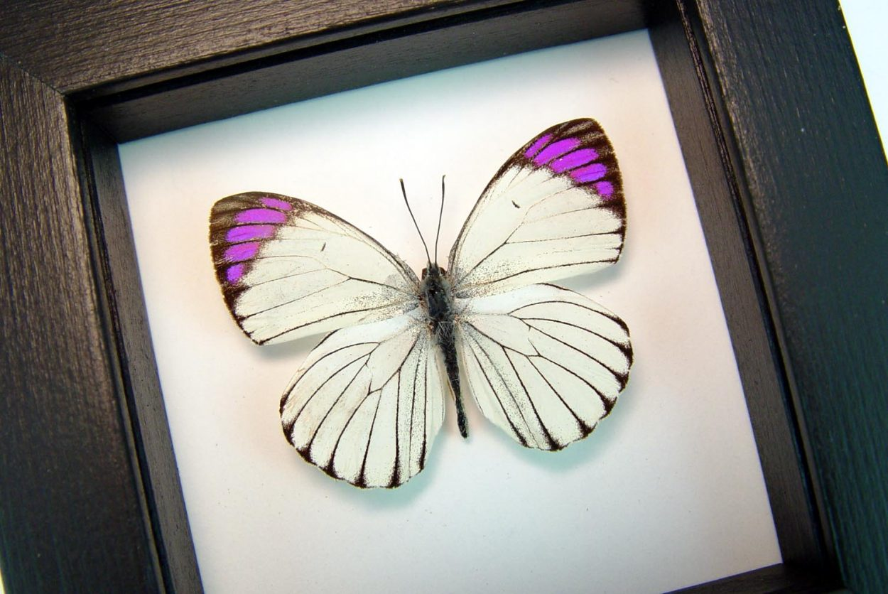 Colotis ione Violet Tip Purple African Butterfly Classic Black Display ooak