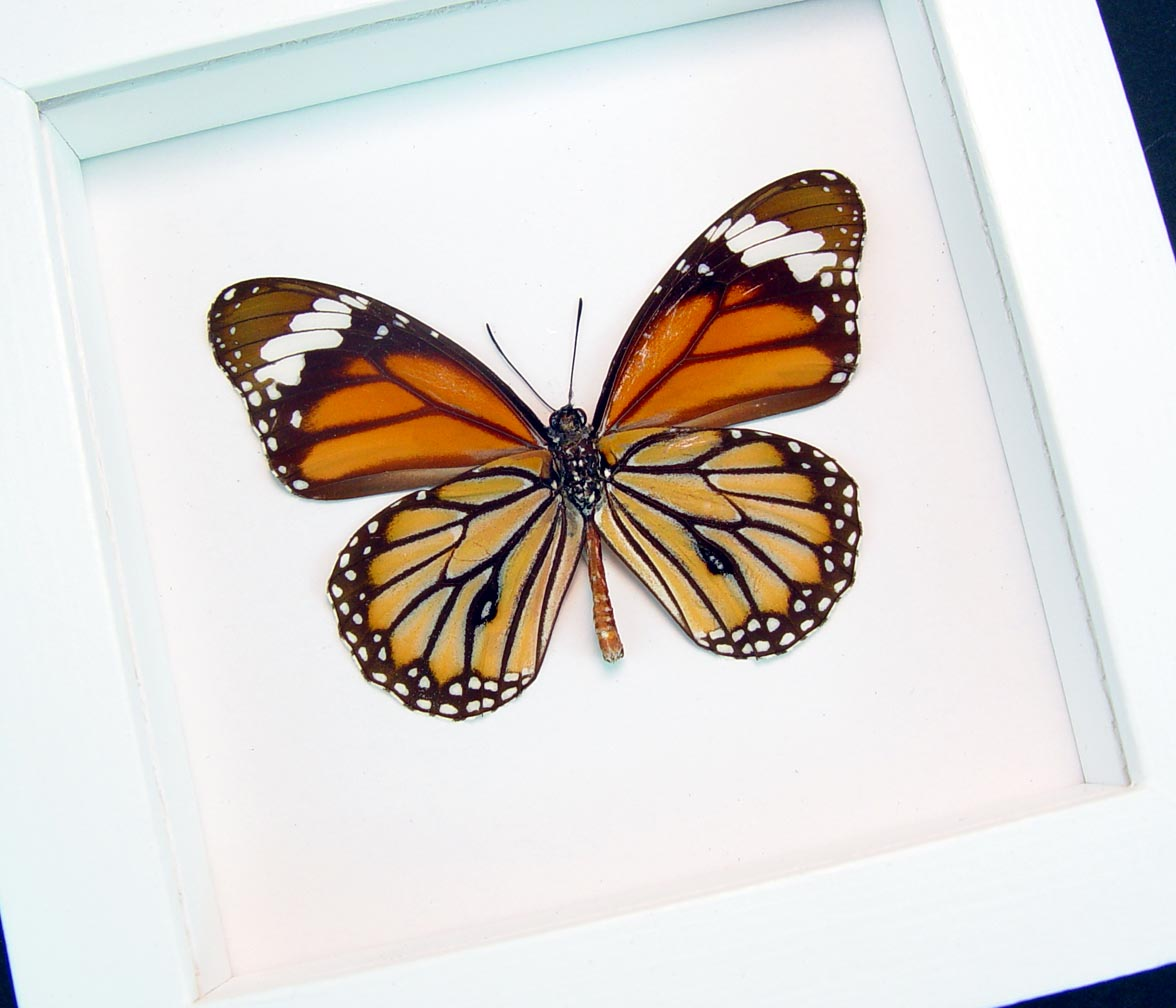 Danaus genutia verso Common Tiger Framed Butterfly Vibrant White Display