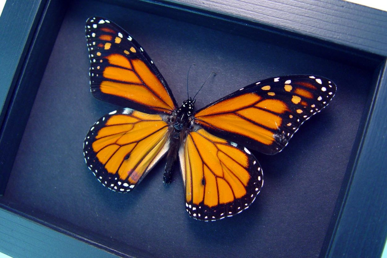 Real Framed Monarch Butterfly Male Moonlight Display
