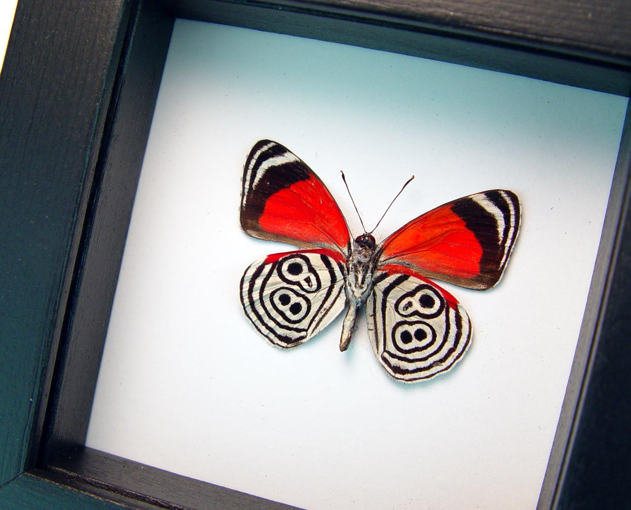 Framed 88 Butterfly Diaethria clymena Classic Black Display ooak