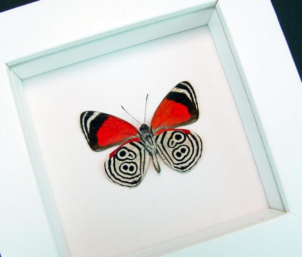 Framed 88 Butterfly Diaethria clymena Vibrant White Display