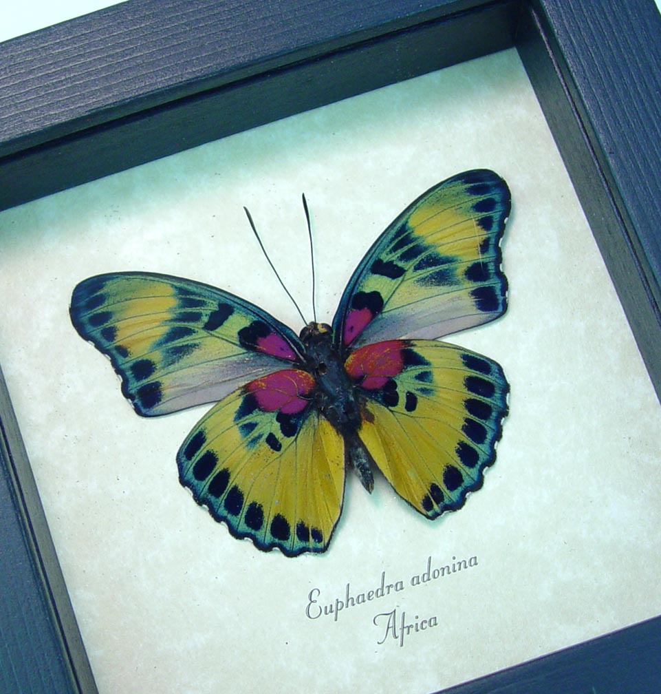 Euphaedra adonina Golden Themis Forester Real Framed Butterfly ooak