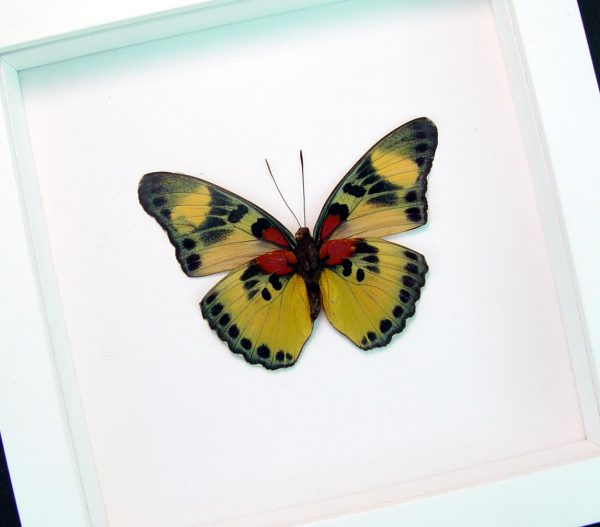 Euphaedra aureola African Butterfly Vibrant White Display