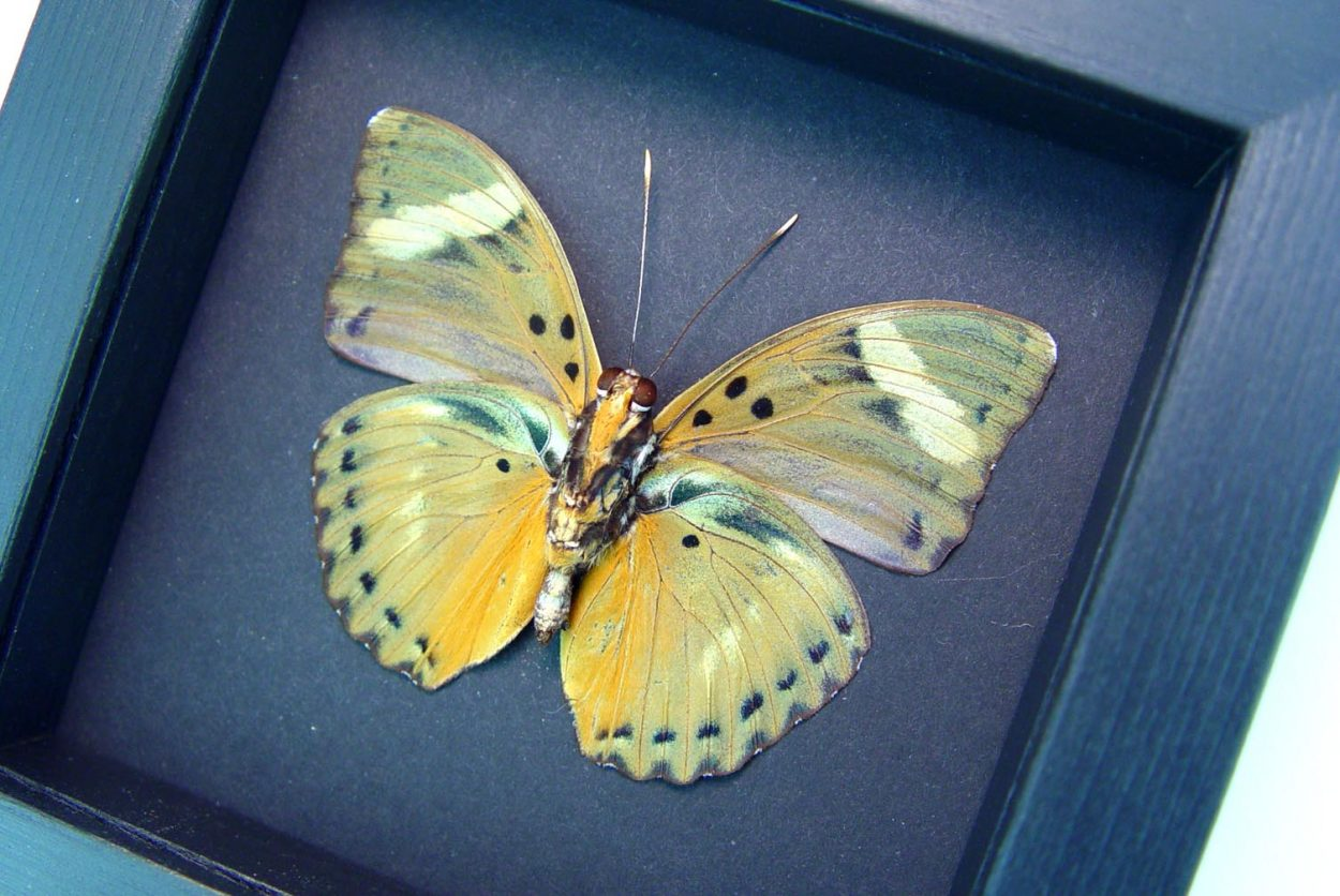 Euphaedra ceres ceres Forester Butterfly Moonlight Display ooak