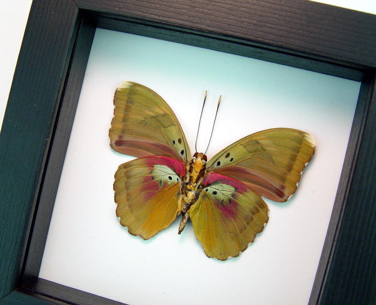 Euphaedra hollandi Pink African Butterfly Classic Black Display ooak