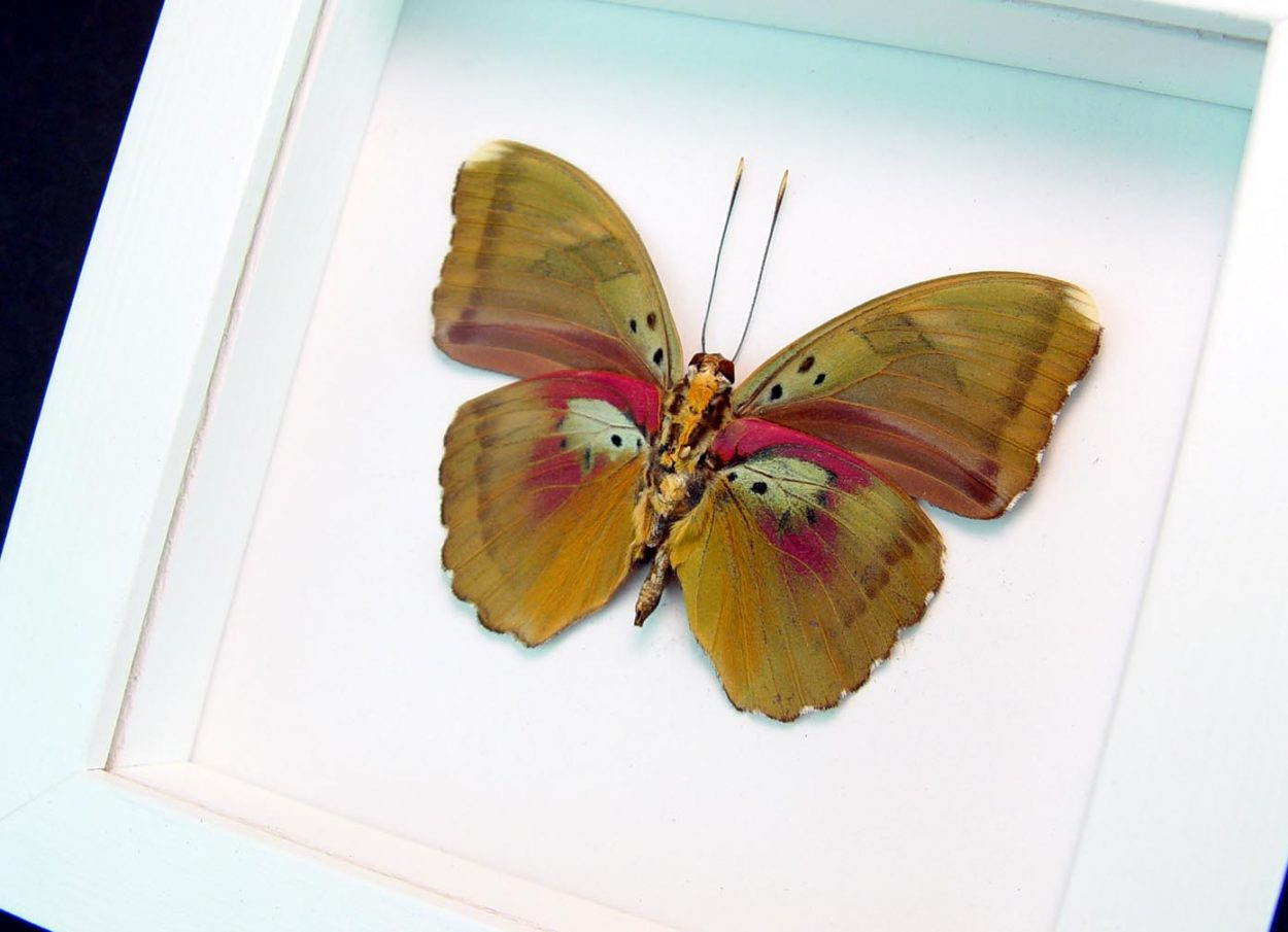 Euphaedra hollandi Pink African Butterfly Vibrant White Display
