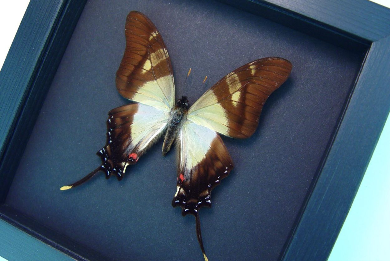 Eurytides serville Swallowtail Butterfly Moonlight Display ooak