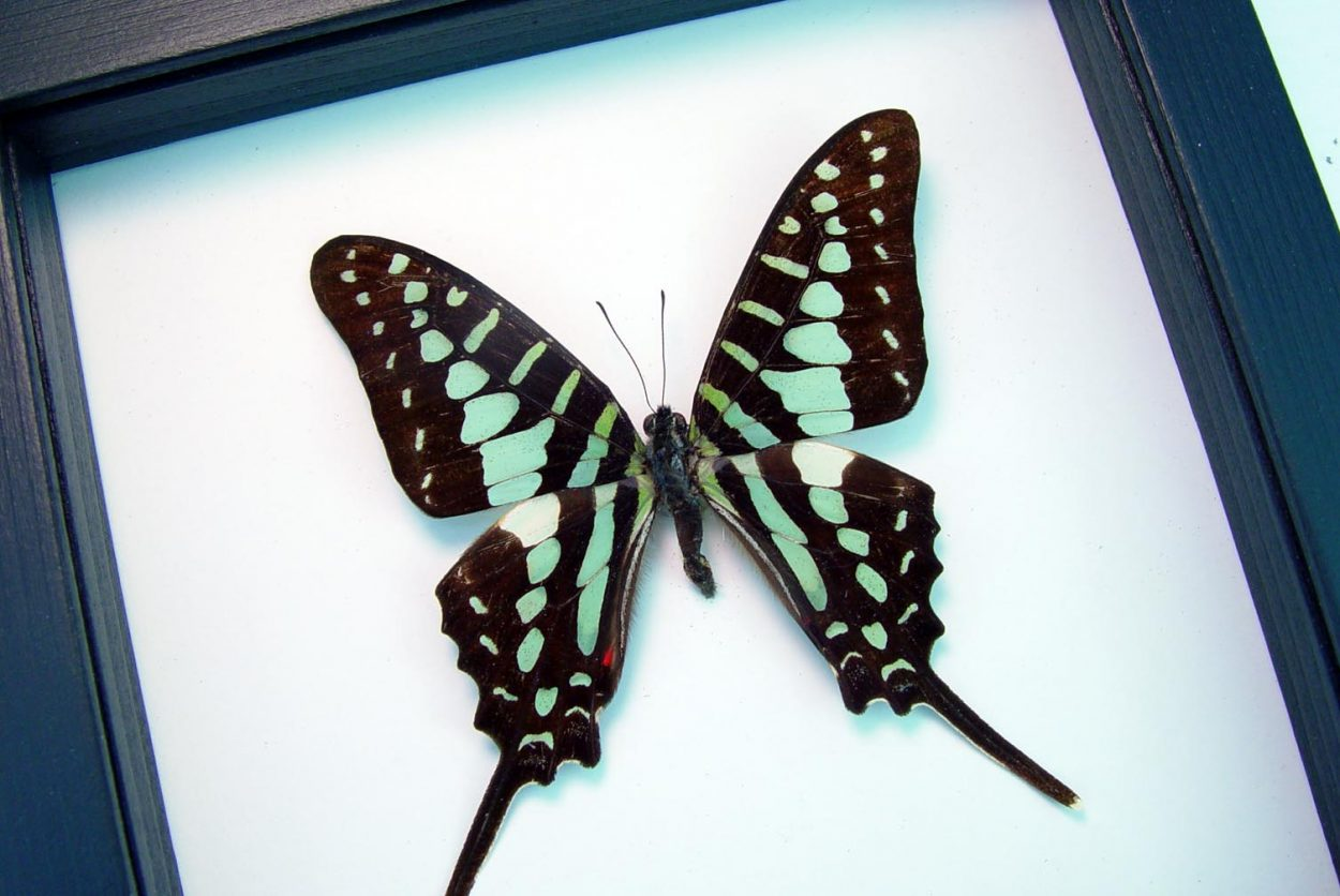 Graphium polycenes Green swallowtail Butterfly Classic Black Display ooak