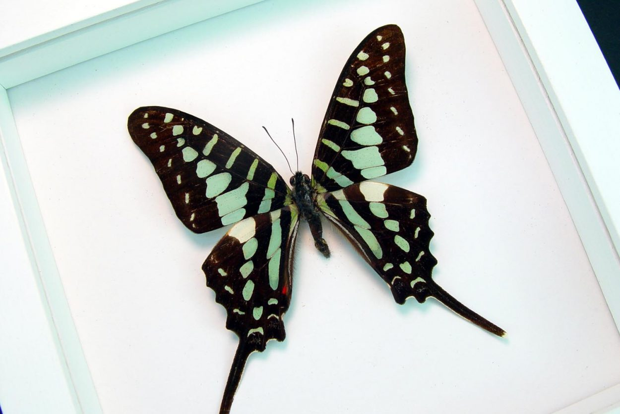 Graphium polycenes Green swallowtail Butterfly Vibrant White Display