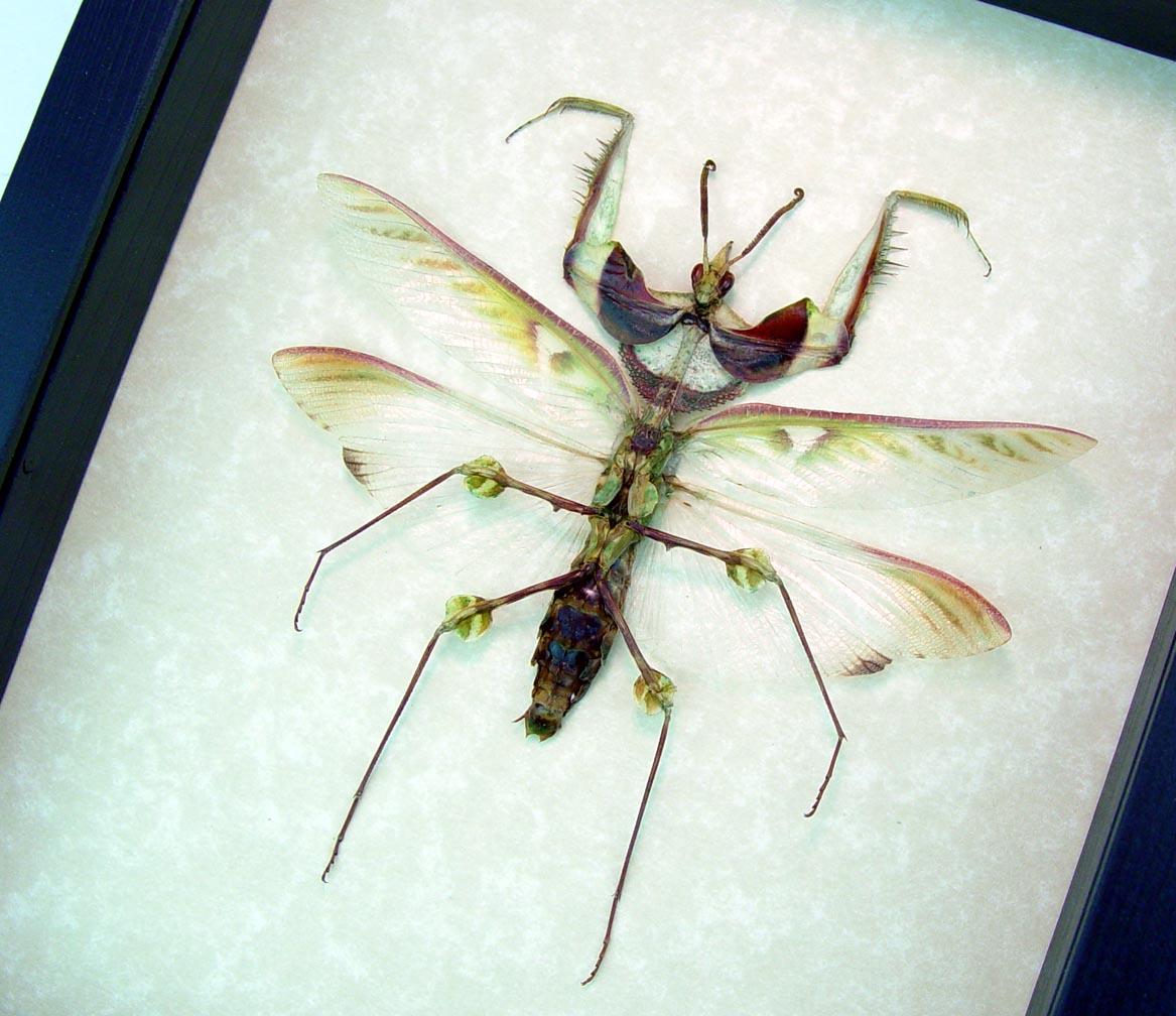 Idolomantis diabolica male Devil Mantis Giant Framed Praying Mantis