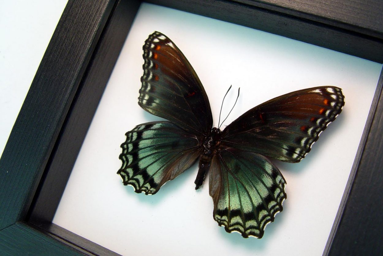 Limenitis Astyanax Male Red Spotted Purple Classic Black Display ooak