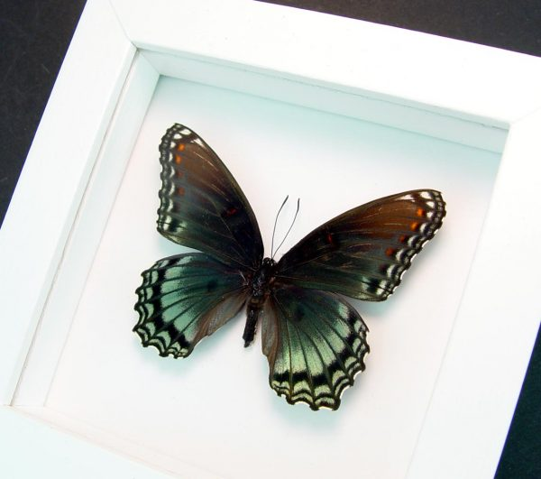 Limenitis Astyanax Male Red Spotted Purple Vibrant White Display