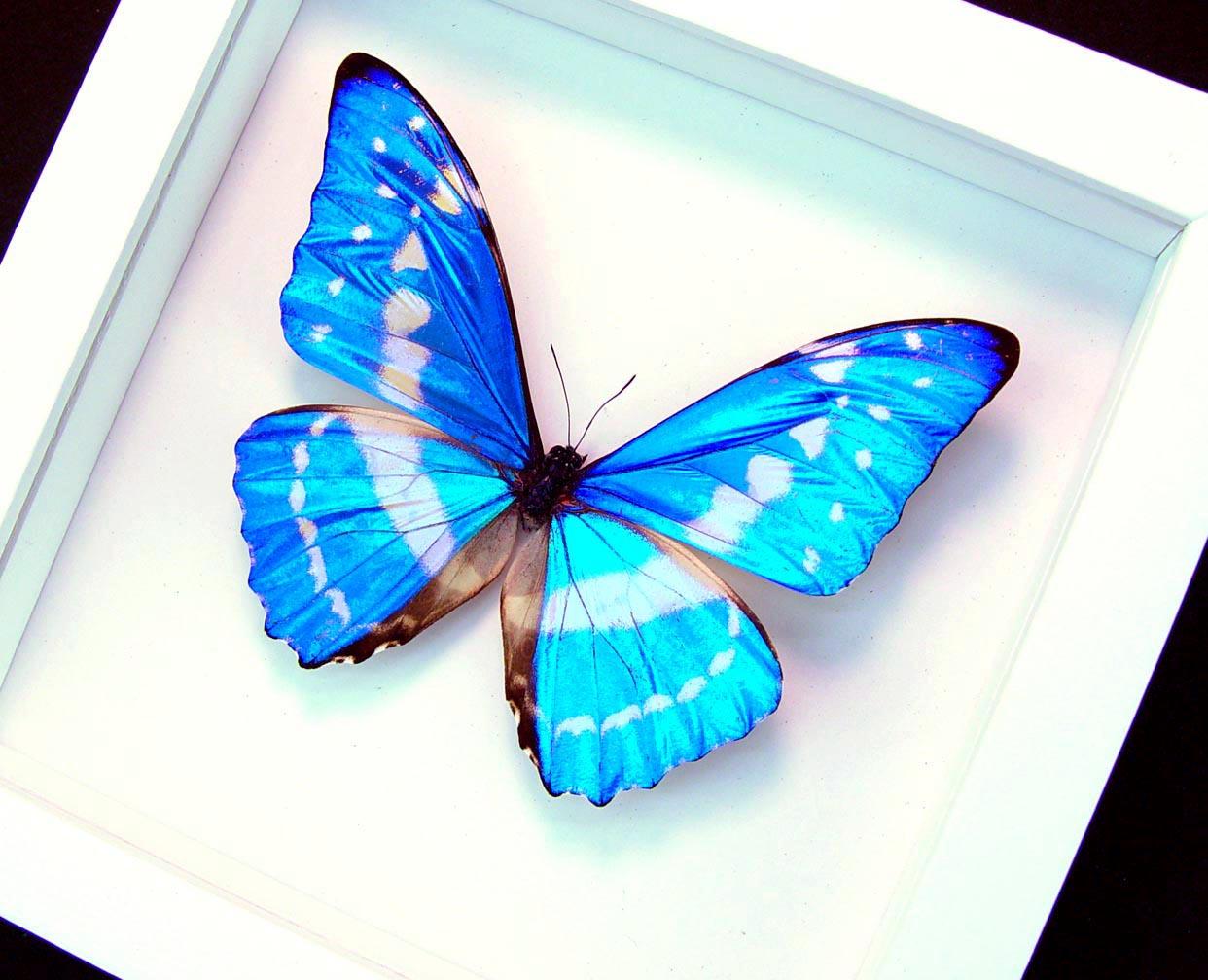 Morpho cypris Blue Morpho Butterfly Vibrant White Display