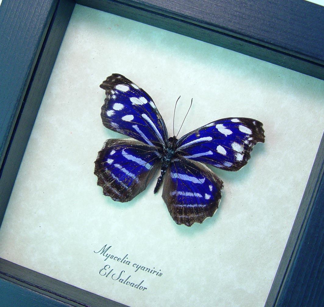 Myscelia cyaniris Framed Purple Butterfly ooak