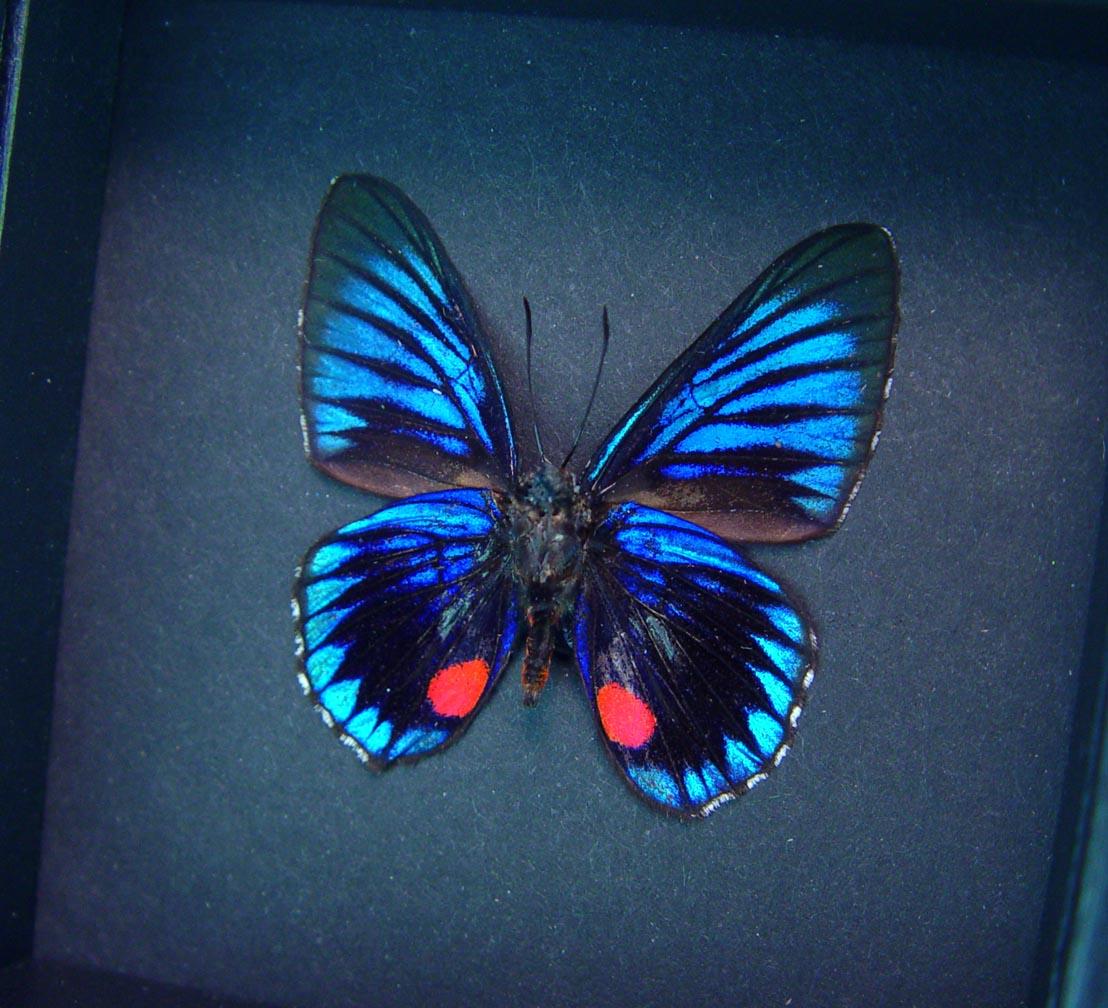Necyria Duellona verso Metallic Blue Butterfly Moonlight Display