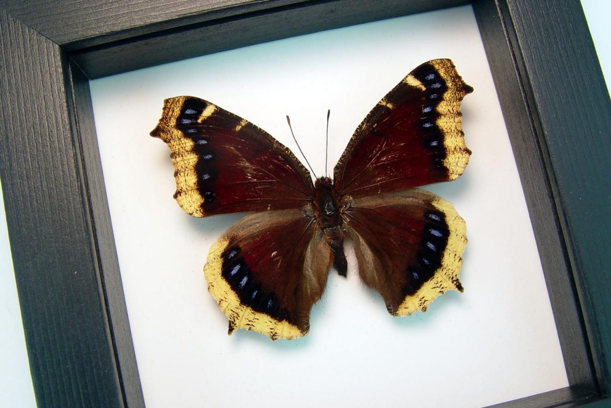 Mourning Cloak Butterfly Framed Nymphalis Antiopa Classic Black Display ooak