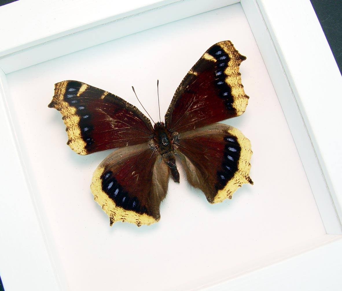 Mourning Cloak Butterfly Framed Nymphalis Antiopa Vibrant White Display