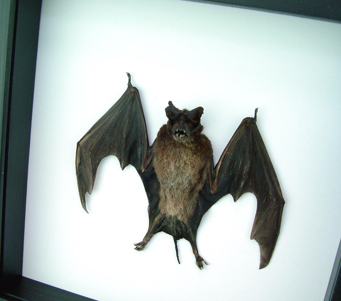 Framed Halloween Bat Otomops formosus Dracula Pose Wings Classic Black Display ooak