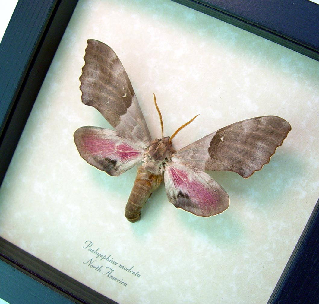 Pachysphinx modesta Poplar Sphinx Framed Moth ooak