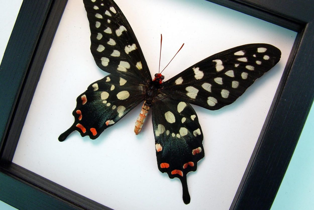 Papilio antenor Madagascar Giant Swallowtail Butterfly Classic Black Display ooak
