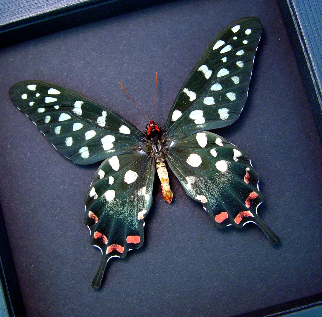 Papilio antenor Madagascar Giant Swallowtail Butterfly Moonlight Display ooak