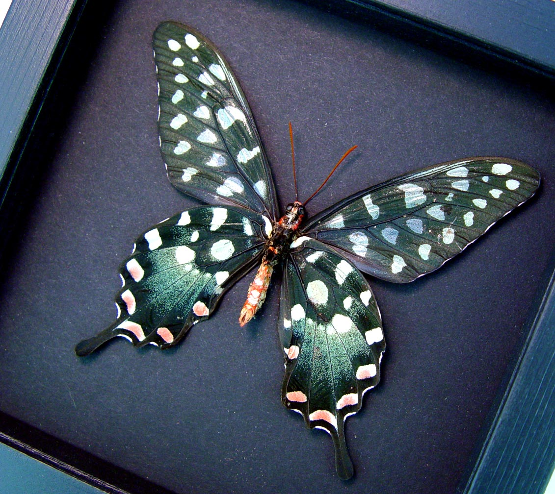 Papilio antenor verso Madagascar Giant Swallowtail Butterfly Moonlight Display ooak