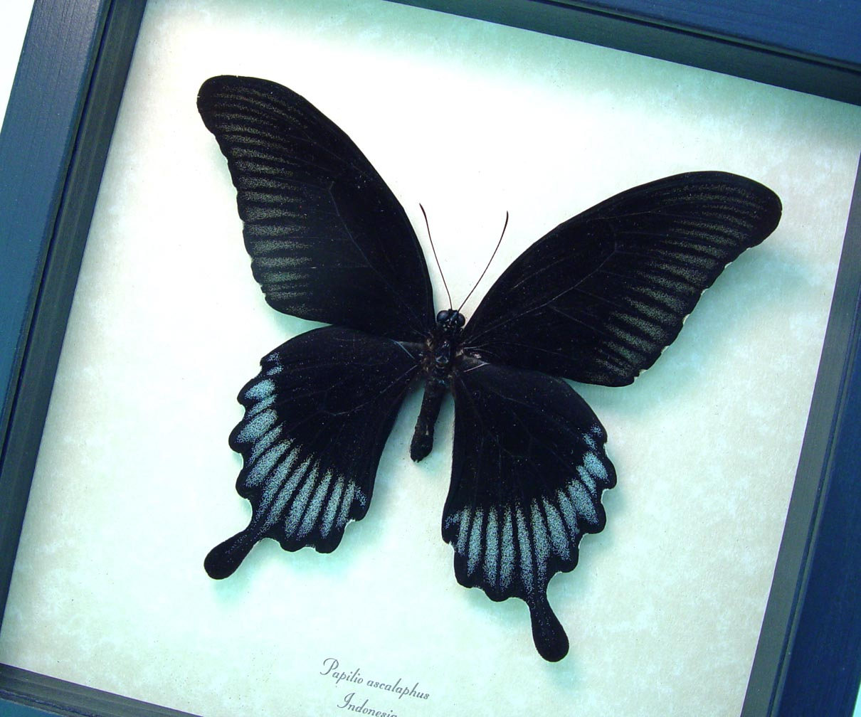 Black Butterfly Papilio Ascalaphus Giant Swallowtail