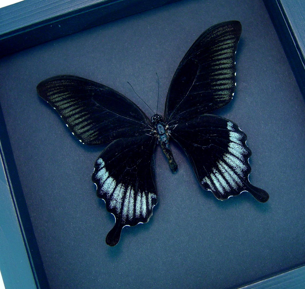 Black Butterfly Papilio Ascalaphus Giant Swallowtail Moonlight Display ooak