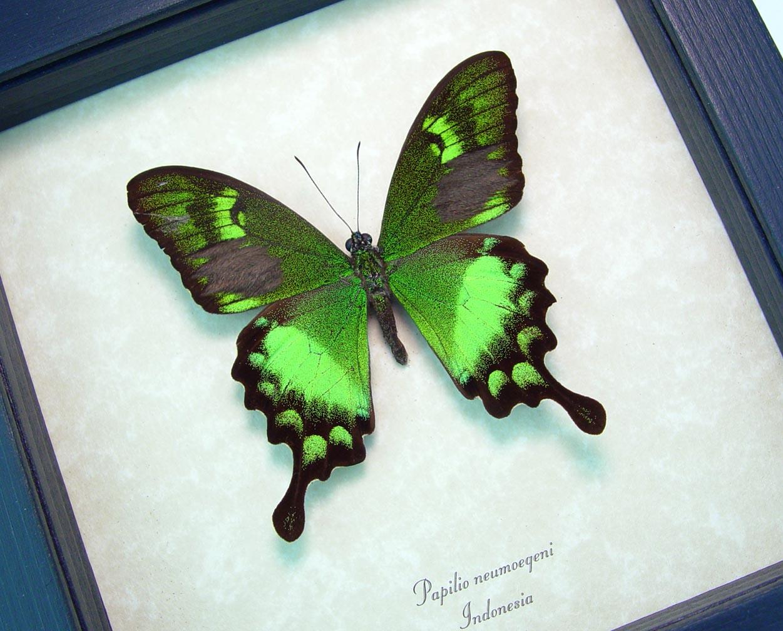 Papilio neumoegeni Green Swallowtail Framed Butterfly OOAK