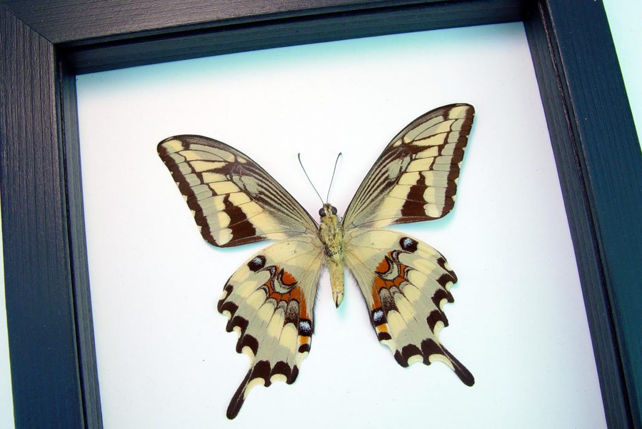 Papilio paeon verso Swallowtail Butterfly Classic Black Display ooak